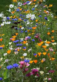 fantastic mix of hardy annuals grown by rosemckerrell of twitter all these