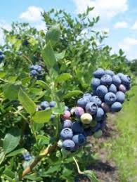 North Carolina Trees For Sale  Fast Growing TreesFruit Trees That Grow In Nc