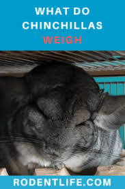 Chinchilla Growth Weight Body Size Cage Size And
