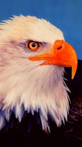 Eagle Wallpaper 4K iPhone Free Download