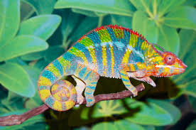Image result for chameleon has a tongue that is 1.5 times the length of its body!