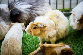 how to entertain your guinea pigs 10