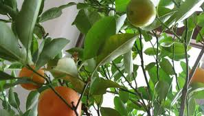 any citrus tree can be grown in a pot the hamlin orange is a favorite because of its early ripening season the tree produces small oranges that are very