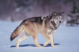 Wolf Body Language Chart Gray Wolf Size Habitat Facts Britannica