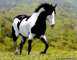 black and white paint horse wallpaper.  Wallpaper Black And White Paint Horse Wallpaper Amazing Wallpapers Art Throughout A