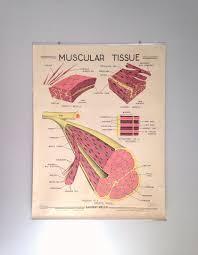 Vintage School Chart Vintage Medical Chart 1963 Muscular Tissue Chart 50x39 Vintage Anatomy Vintage Science Poster