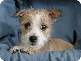 wire hair terrier mix breeds. Modren Breeds On Wire Hair Terrier Mix Breeds R