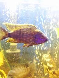 Lawanda Peacock #fish #africancichlids   African cichlids, Fish ...