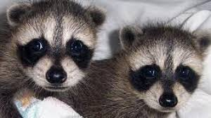 Baby Raccoon Age Chart Age Determination And Feeding Chart Rescuing An Orphaned