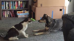 cats and dogs play fighting. Cat And Dog Best Friends Play Fighting With Cats Dogs