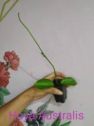 """A textura das flores é cerosa e brilhante, daí resultando a denominação comum de """"flor de cera"""". Kit 2 Hoya Flor De Cera Pendente Raras Colecao Escolher Mercado Livre"""