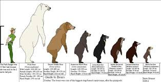 Polar Size Chart 44 Abiding Polar Bear Height