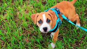 Rabbitgoo Dog Harness Size Chart The 5 Best Dog Walking Harness
