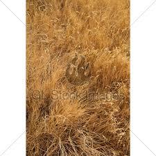 tall grass texture. Dried Out Tan Tall Grass Background Texture