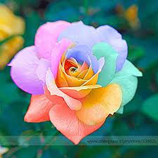 Il più raro Seeds arcobaleno luminoso fiore di rosa, Professional Service  Pack, 50 semi/Pack, Heirloom giardino bonsai della pianta del fiore # Nf575  di tantarashop : Amazon.it: Giardino e giardinaggio