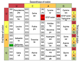 Dna To Rna Codon Chart Question B9b94 Socratic