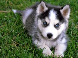 cute dogs and puppies husky. Delighful Husky Cute Talking Husky Puppy Intended Dogs And Puppies
