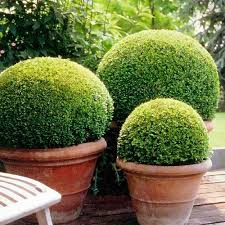 Small Picture Buxus Sempervirens Box Ball 40cm Diameter Flora Select home