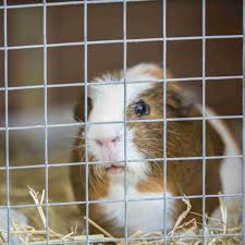 guinea pig male ring out from wire mesh cage