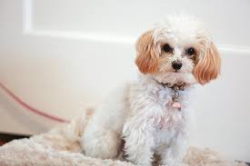 Maltipoo Dog Breed Information Pictures Characteristics