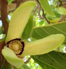 Annona Fruit Tree
