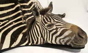 extraordinary vintage zebra skin rug at 1stdibs