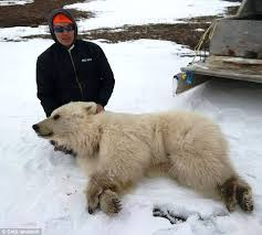 grolar bear size dna tests find slaughtered animal was a blonde grizzly and not