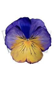 """Shop All – Tagged """"Pansy""""– Tyler McGillivary"""