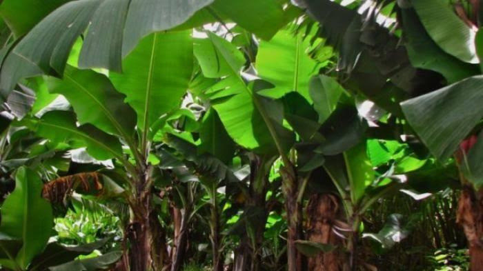 Ilustrasi kebun pisang