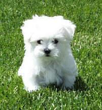 Teacup Maltese Weight Chart How Much Do Maltese Dogs Weigh Goldenacresdogs Com