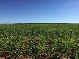 cover crop combination mix drilled mid august 2018 mitchell co tx ample rains have occurred since planting sorghum sudan sudan at only 4 4 of a 20
