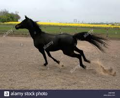 black arabian horse running. Fine Running A Black Arabian Stallion Running In A Menage  Stock Image In Black Horse Running U
