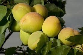 Apricot Fruit Not Ripe What To Do With Unripe Apricots