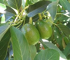 Avocado Tree Size Chart Avocado Growing Guide Edible East Bay