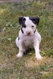 white and black pitbull puppies. Delighful Pitbull Black And White Pitbull Puppies Intended White And Black Pitbull Puppies L