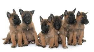 a litter of belgian malinois puppies