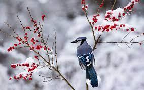 Winter Birds Wallpapers - Top Free ...