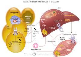 Insulino Resistenza Dieta ed Allenamento : guida | Domenico Aversano -  Skeptical Dragoon