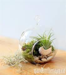 how to make a hanging globe terrarium with sedum and tillandsia aka air