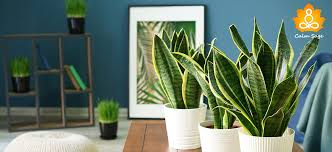 snake plant how to grow it right