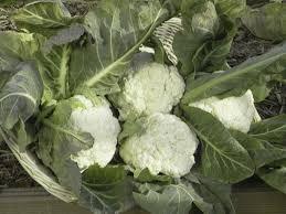 cauliflower plant. Delighful Cauliflower Pamper Cauliflower With Plant N