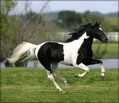 black and white paint horse wallpaper. Brilliant Wallpaper Black And White Paint Horse In And Horse Wallpaper U