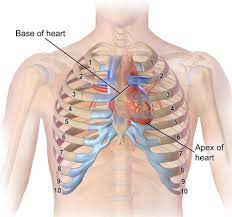 Your heart is secured inside the chest by the rib cage. Heart Position Relative To Ribcage Integration Massage