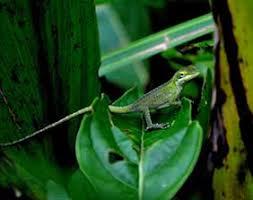 Scdnr Wildlife Information Sc Lizards