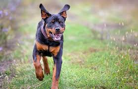 Image result for rottweiler dog breed
