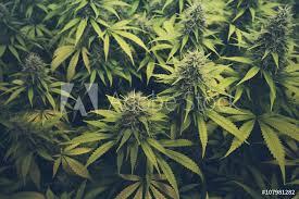Fotografie Obraz Cannabis Bud Marihuana Plants Posterscz