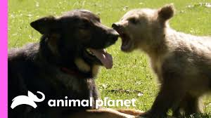 A Baby <b>Bear And A</b> German Shepherd Become The Best Of Friends!