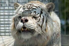 white tiger. Exellent Tiger Kenny A White Tiger With Cosmetic Birth Defects Rescued By Turpentine  Creek To White Tiger 0