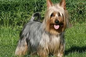 silky dog. breed standard picture for silky terriers dog