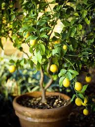 fruit to grow in pots dan containers